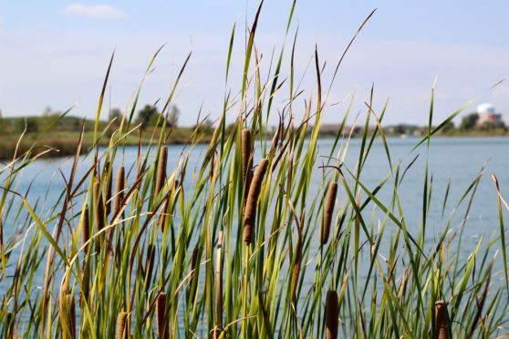cattails in wetland